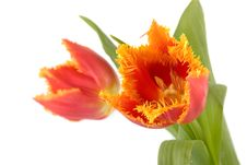 Free Tulips Royalty Free Stock Photography - 8495307