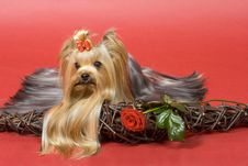 Free Yorkshire Terrier On Red Background Royalty Free Stock Photo - 8495365