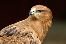 Free Tawny Eagle Royalty Free Stock Photo - 8495515