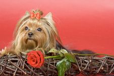 Free Yorkshire Terrier On Red Background Royalty Free Stock Image - 8495566