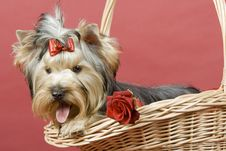 Free Yorkshire Terrier On Red Background Royalty Free Stock Photo - 8495715