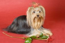 Yorkshire Terrier On Red Background Stock Photography
