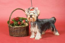 Free Yorkshire Terrier On Red Background Royalty Free Stock Photo - 8496265