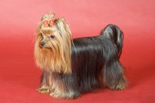Free Yorkshire Terrier On Red Background Royalty Free Stock Images - 8496809