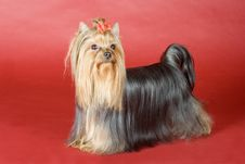 Free Yorkshire Terrier On Red Background Royalty Free Stock Image - 8496946