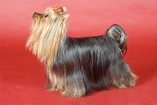 Free Yorkshire Terrier On Red Background Royalty Free Stock Photo - 8497125