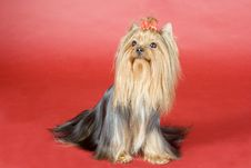 Free Yorkshire Terrier On Red Background Royalty Free Stock Image - 8497276