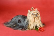 Free Yorkshire Terrier On Red Background Royalty Free Stock Image - 8497456