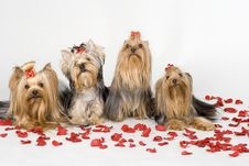 Free Yorkshire Terriers On White Background Stock Photo - 8497920