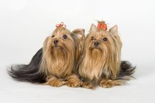 Free Yorkshire Terriers On White Background Royalty Free Stock Photos - 8498308