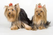 Free Yorkshire Terriers On White Background Royalty Free Stock Photo - 8498375