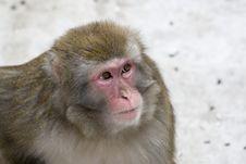 Free Macaca Fuscata Grey Japanese Monkey Royalty Free Stock Photography - 8498487