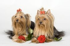 Free Yorkshire Terriers On White Background Stock Photography - 8498612