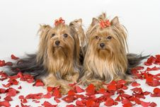 Free Yorkshire Terriers On White Background Royalty Free Stock Image - 8498726