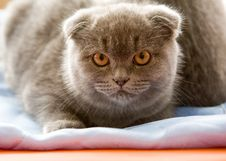 Free Scottish Fold Cat Stock Photo - 8498780