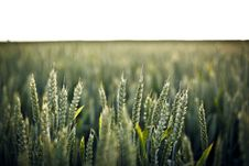 Free Rye Grass In Field Royalty Free Stock Photos - 84900628