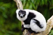 Free Black And White Ruffed Lemur Stock Images - 84901004