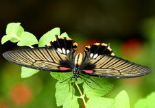Free Scarlet Swallowtail. Stock Images - 84901094