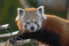 Free Red Panda 2016-01-08-00019 Stock Photography - 84901212
