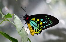 Free Cairns Birdwing Butterfly. Stock Image - 84901501