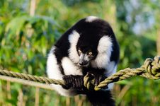 Free Black And White Ruffed Lemur Stock Photography - 84901612