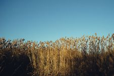 Free Autumn Reed Stock Photography - 84901632