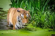 Free Siberian Tiger Royalty Free Stock Photography - 84902087