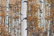 Free Birch Tree Background Texture Royalty Free Stock Photography - 84902597