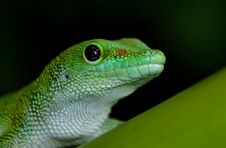 Free Madagascan Day Gecko Royalty Free Stock Images - 84902679