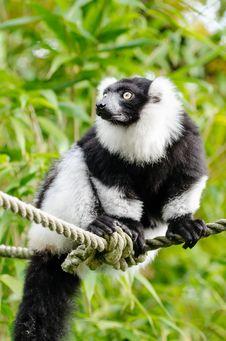 Free Black And White Ruffed Lemur Stock Photo - 84902690
