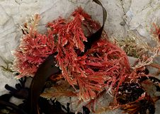 Free Calcareous Red Seaweed. FZ200 Stock Image - 84902771