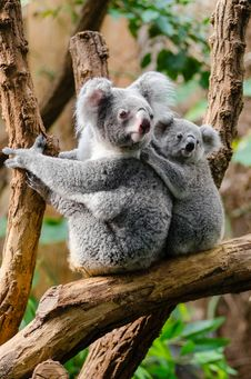 Free Koala Family Stock Photo - 84903090
