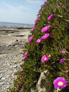 Free Purple Flowers On Rocky Coastline Royalty Free Stock Photos - 84903188