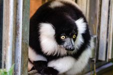 Free Black And White Ruffed Lemur Stock Images - 84904034