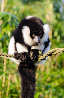 Free Black And White Ruffed Lemur Royalty Free Stock Photo - 84904055