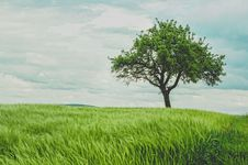 Free Tree In A Grassy Field Royalty Free Stock Images - 84904059