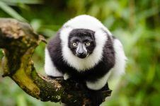 Free Black And White Ruffed Lemur Stock Image - 84904081