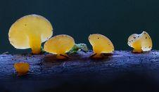 Free Jelly Fungi. Royalty Free Stock Image - 84904196