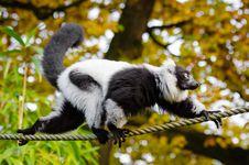 Free Black And White Ruffed Lemur Stock Photos - 84904533