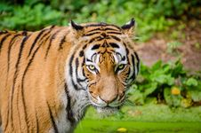 Free Siberian Tiger Stock Photos - 84904613