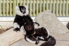 Free Sunbathing Lemur Royalty Free Stock Photo - 84904765