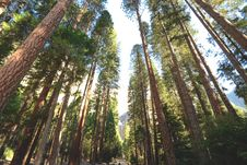 Free Inside A Redwood Forest Stock Photography - 84905332