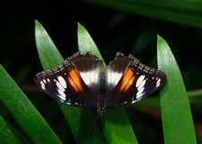 Free Orchard Butterfly Royalty Free Stock Photo - 84905615