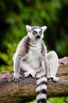 Free Ring-Tailed Lemur Stock Images - 84905674