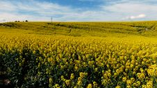 Free Canola. Golden Fields. Stock Photo - 84906320