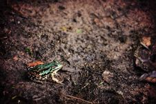 Free Green Frog Sitting On Damp Earth Royalty Free Stock Images - 84906439