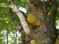 Free Jackfruits In A Tree Royalty Free Stock Photo - 84906875
