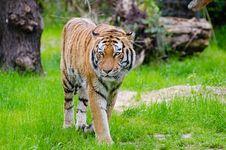Free Orange And Black Bengal Tiger Walking On Green Grass Field During Daytime Royalty Free Stock Photos - 84907038