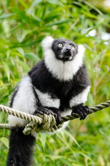 Free Black And White Ruffed Lemur Royalty Free Stock Image - 84907606