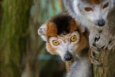 Free Crowned Lemur 2016-01-08-00856 Royalty Free Stock Photography - 84907757